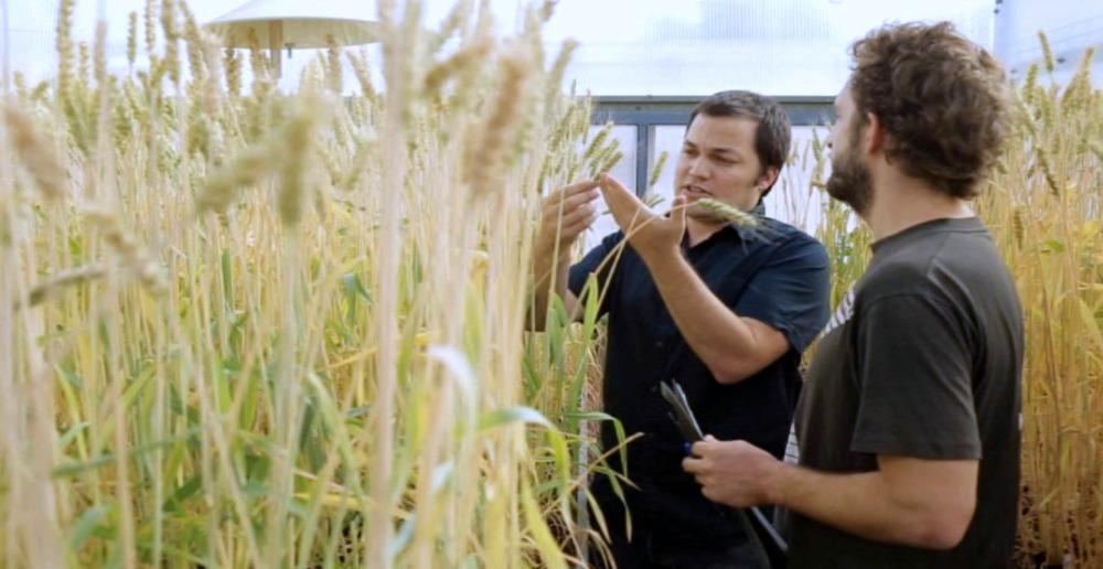 wheat zvi